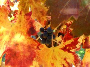 randonnée de Nyons à Venterol, provence vignes en automne, feuille de vigne