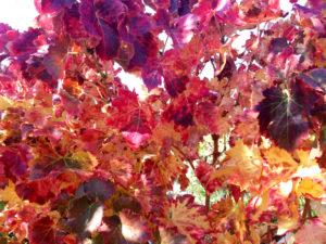 randonnée de Nyons à Venterol, provence vignes en automne, feuilles de vigne