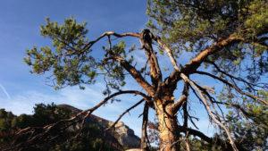 Randonnée Saint Féréol Trente Pas, Provence, pin