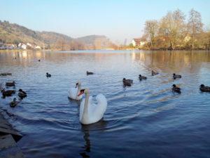 Naab Allemagne Kallmünz, cygne, photo cygnes lac